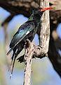 Green Wood Hoopoe, Phoeniculus purpureus, at Mapungubwe National Park, Limpopo, South Africa (29896900190).jpg