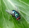 Green bottle. Lucilia caesar. Male - Flickr - gailhampshire.jpg