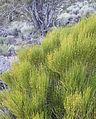 Green ephedra Ephedra viridis bush.jpg