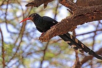 Green wood hoopoe - Lake Baringo, Kenya