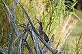 Greenbacked Heron (3693461854).jpg