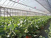 Coltivazione in serra delle fragole