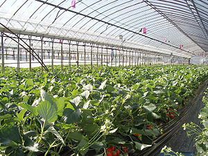 Greenhouse for strawberry.jpg