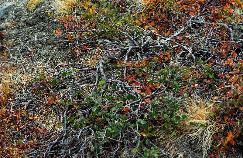 File:Greenland, tree (js)1.jpg