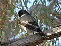 Grey Butcherbird (28100378552).jpg