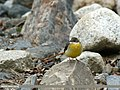 Grey Wagtail (Motacilla cinerea) (28044596196).jpg