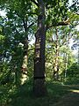 Group of old oaks (Cherkasy region)-2.jpg