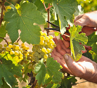 Harvest (wine) - Grüner Veltliner grapes being hand harvested at Hahndorf Hill vineyard in the Adelaide Hills in Australia.