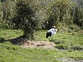 Grus japonensis, Tanchozuru Nature Park, 2005-10-06.jpg