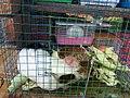 Guinea pig in Pasty Market.jpg