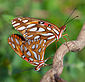 Gulf Fritillaries Mating 0019.jpg