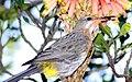 Gurney's sugarbird (Promerops gurneyi) on aloe in Robbers Pass (5695227989).jpg