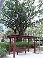 HK 長沙灣徑 Cheung Sha Wan Path Sitting-out Area tree 深水埗運動場 Sham Shui Po Sports Ground April-2012.JPG