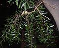 HK Plant Acacia confusa 02a.jpg