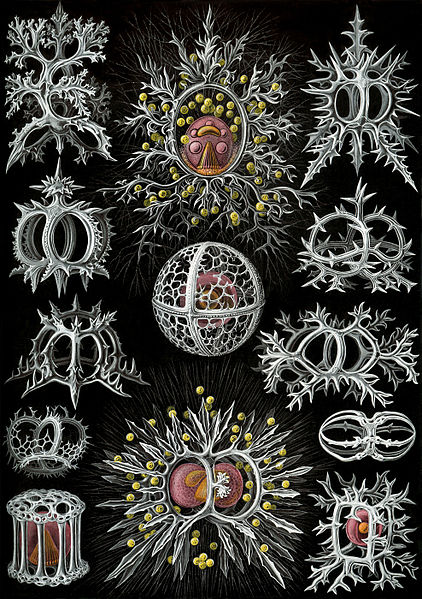 File:Haeckel Stephoidea edit.jpg