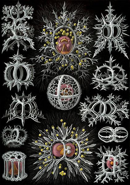 File:Haeckel Stephoidea edit.jpg