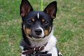 Hahns, Male, Rat terrier 8 months old..jpg