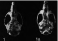 Handleyomys alfaroi skull Goldman.png