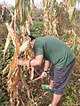 Harvest Festival in countryside - Labouring 4th.jpg