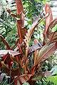 Heliconia edwardus-rex 2zz.jpg