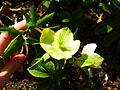 Helleborus orientalis in Jardin des Plantes 01.JPG