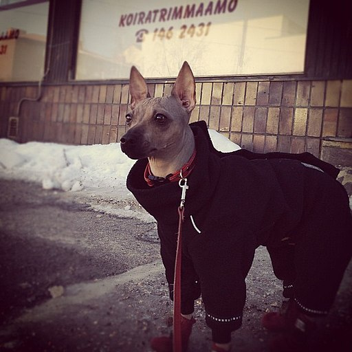 "Helli the american hairless terrier says ""Dog trimming? You have got to be joking."""