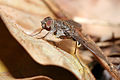 Hemipenthes Bombyliidae.jpg