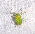 Hemiptera (26434041912).jpg
