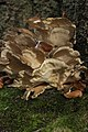Hen of the Woods - Grifola frondosa (24664013238).jpg
