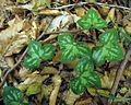 Hepatica nobilis PID1804-1.jpg
