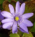 Hepatica transsilvanica flower.jpg