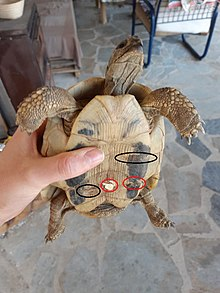 Turtle shell - Wikipedia