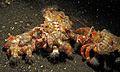 Hermit Crabs (Dardanus pedunculatus) (6072672243).jpg
