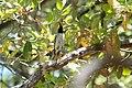 Hermit Warbler (male) Huachuca Canyon (upper) Sierra Vista AZ 2019-05-05 11-53-10 (47783755171).jpg