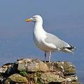 Herring Gull at Beaumaris - geograph.org.uk - 1811503.jpg