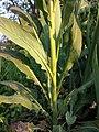 Hesperis matronalis subsp. matronalis sl23.jpg