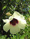Hibiscus diversifolius flower
