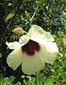 Hibiscus diversifolius flower.jpg