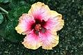 Hibiscus rosa-sinensis Erin Rachel 0zz.jpg