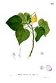 Hibiscus tiliaceus Blanco2.274.png