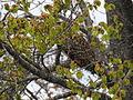 Hibou des marais des hautes alpes 01.JPG