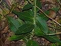 Hieracium laevigatum stem (05).jpg