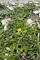 Hieracium pilosella bray-sur-somme 80 25062007 1.jpg
