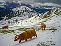 Highland cattle August snow Mastle Gherdëina.jpg