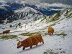 Highland cattle August snow Mastle Gherdëina.jpg