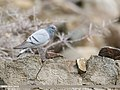 Hill Pigeon (Columba rupestris) (33753555598).jpg