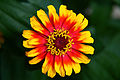 Hippie-flower - Virginia - ForestWander.jpg