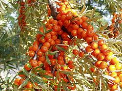 Hippophae rhamnoides1 beentree bialowieza.jpg