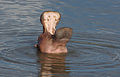 Hippopotamus study (sequence) at Kruger National Park (12156410004).jpg