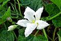 Hoa bầu.jpg